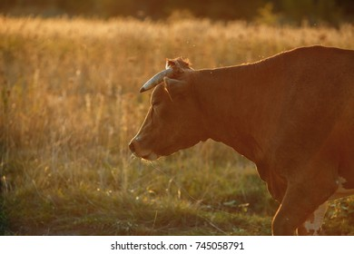 cow in a meadow in yellow light