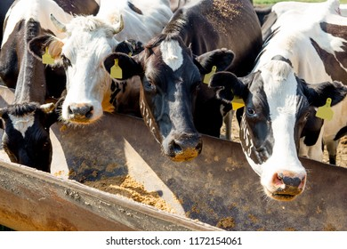 Cow milking facility and mechanized milking equipment. dairy farm