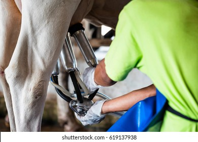 Cow milking facility and mechanized milking equipment.