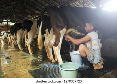 a cow milkmaid is busy doing her work in mojokerto village east java Indonesia on 27 January 2018