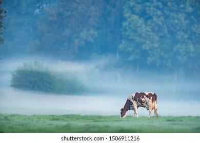 Cow in misty meadow in summer.