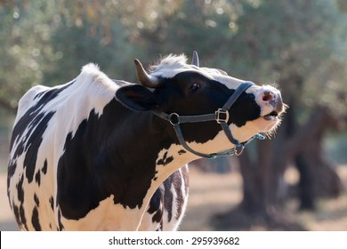 Cow mooing in a farm.