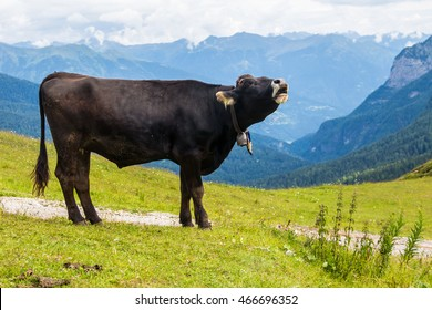 cow mooing while grazing on the Alps
