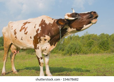 A cow moos in the meadow