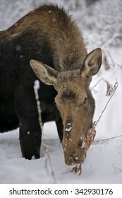 Cow Moose browsing plant food in deep snow