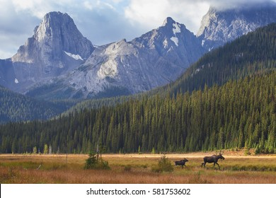 A cow moose leads her calf out of a meadow during an autumn sunrise in Kananaskis Country, Alberta.