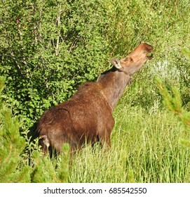 cow  moose munching on willows in yellowstone national park, wyoming