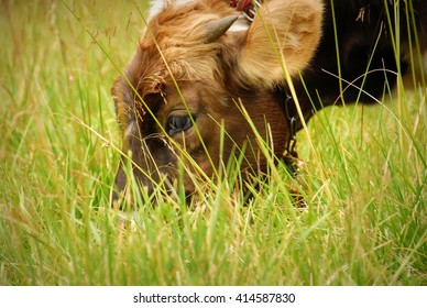 Cow in the mountains of the Carpathian Ukraine