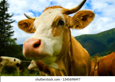 a cow in the mountains in sommer
