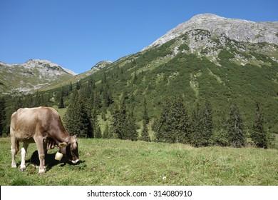 Cow Near Lake Spuller Lech Valley