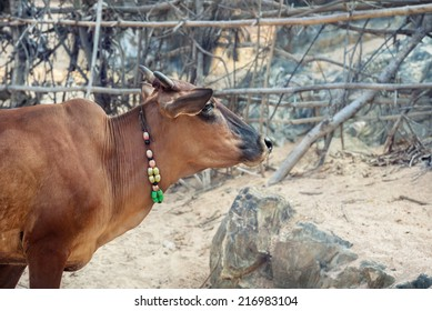 Cow with necklace on the Om beach, Gokarna, India