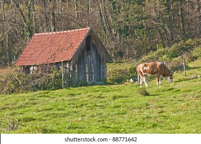 cow with old barn