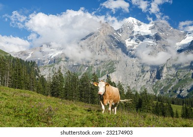 Cow on alpine meadow near Lake Oeschinen, Bernese Oberland, Switzerland