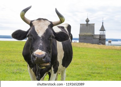 A cow on the background of a wooden chapel. Russia, Arkhangelsk region, Vershinino village