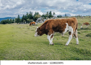 A cow on a big green alpine mountains pasture, grass, blue sky with clouds. Rustical and rural countryside, cow and livestock on a pasture. Velika Planina, Kamnik, Slovenia.