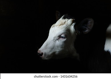 Cow on a black background in the barn