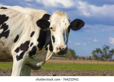 cow on blue sky and green grass background