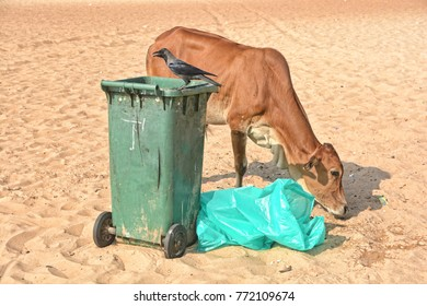 A cow on the Calangute beach, next to the dumpster on which sits a black crow in North Goa.India