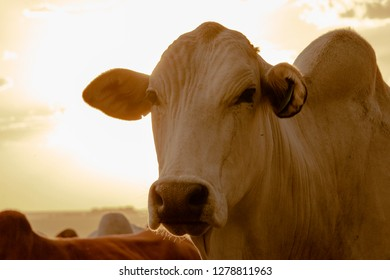 Cow on farm At Golden Hour - Image