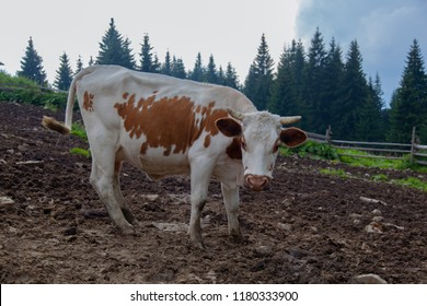 cow on a farm in the mountains before milking after grazing