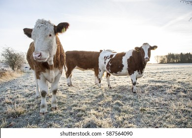 Cow on field in winter time