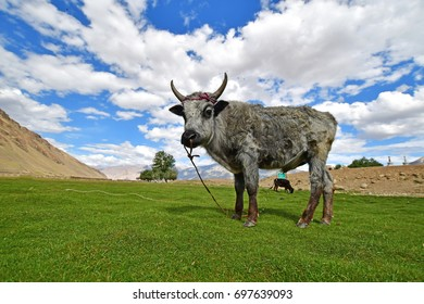 Cow on field in Zanskar, Ladakh, Northern India