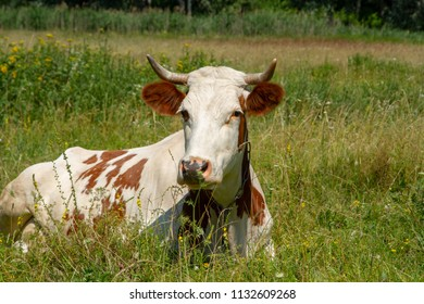 Cow on the fild. Heifer on the meadow. Private cattle breeding in Ukraine. Household subsidiary farming. A cow is grazing in a clearing.