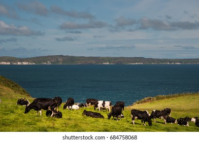 Cow on the filed on North coastal way in Northern Ireland