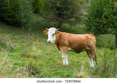 cow on a green field