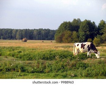 Cow on the green field. Haying