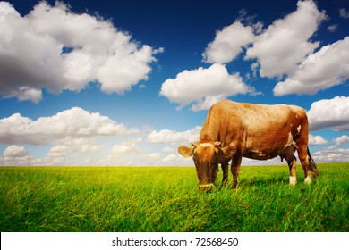 Cow on green grass and blue sky with light