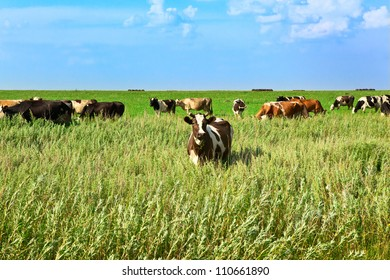 the cow on a green meadow eats a grass