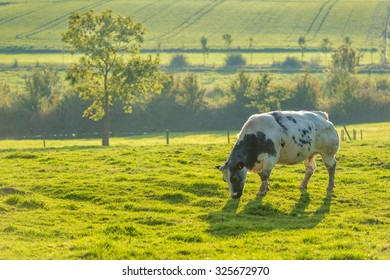 Cow on a hill in Heuvelland Belgium