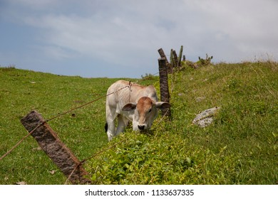 Cow on the hill with wire fence