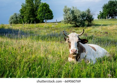 Cow on a meadow in the grass close-up portrait. Summer picture of a grazing cow