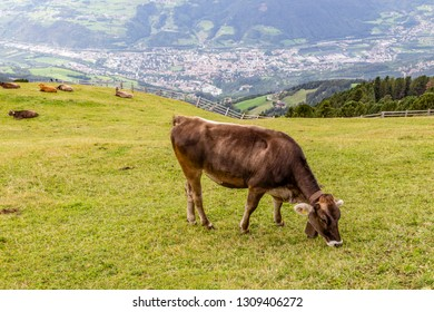 cow on meadow over brissanone, south tyrol, italy