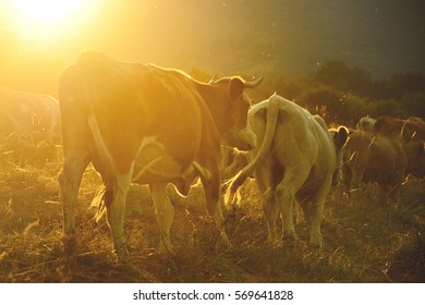 Cow on the meadow walking together through agricultural landscape in calm summer sunset