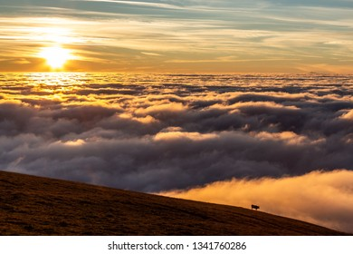 Cow on a mountain over a sea of fog at sunset, with beautiful warm colors