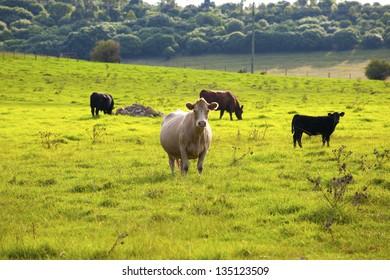 A cow on open plain against blue sky
