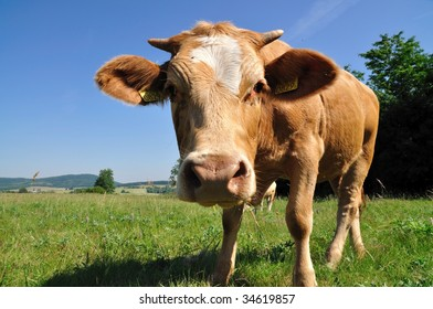 A cow on the pasture.
