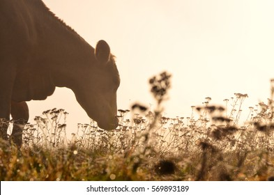 Cow on pasture during autumn morning - brown color tone photo