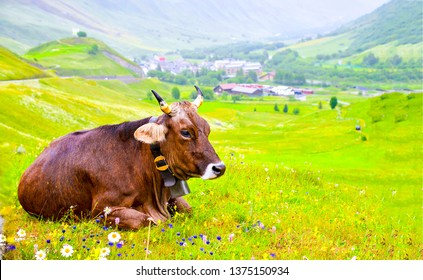 Cow on pasture meadow flowers landscape. Cow lying on grass. Cow lying down. Brown cow lying rest on grass