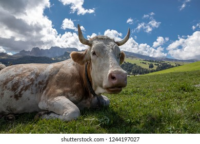 Cow on the pasture in South Tyrol