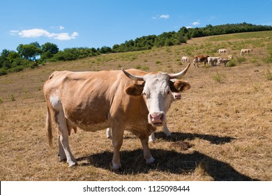 A cow on the pasture on the summertime