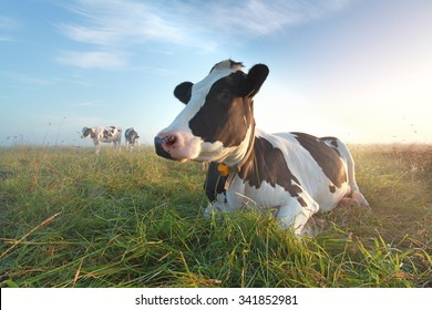 cow on pasture at sunrise in summer