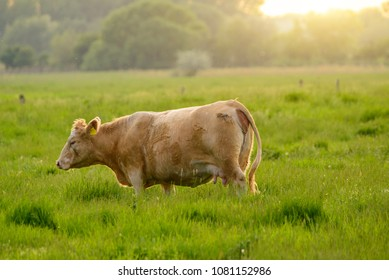 Cow on the pasture sunset lights