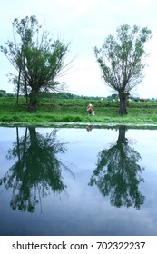 Cow on the river bank, reflection