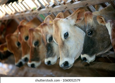 cow on stable to milk production on countryside of Brazil