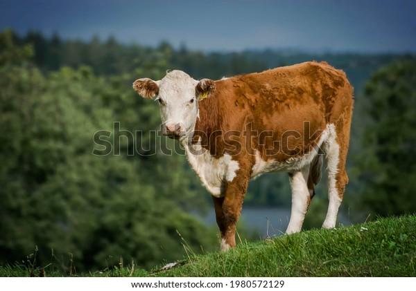 cow-on-top-hill-nice-600w-1980572129.jpg