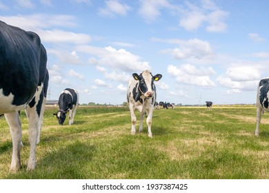 Cow oncoming  towards in a field, nosy black and white cows, approaching walking towards the camera